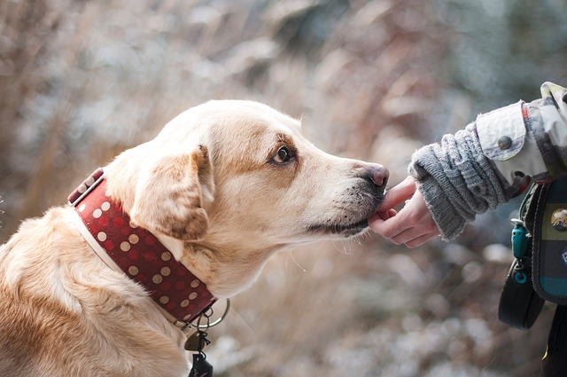 brucelosis-canina-perros-mascotas